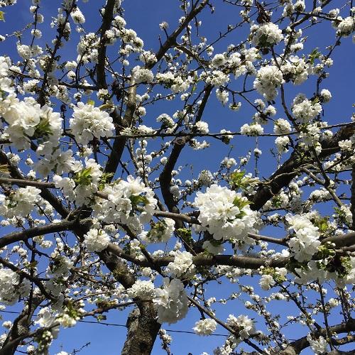 Cerisier en fleur dans nos vignes