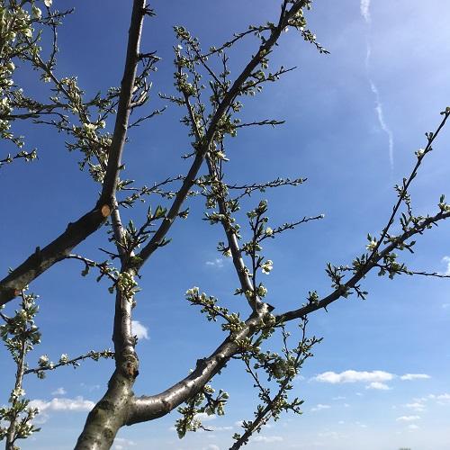 Mirabellier en fleurs dans nos vignes bio