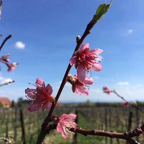 Pêcher en fleurs dans nos vignes bio