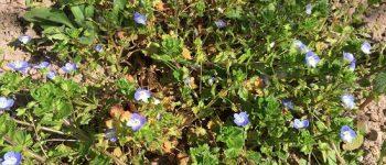 Fleurs dans nos vignes bio