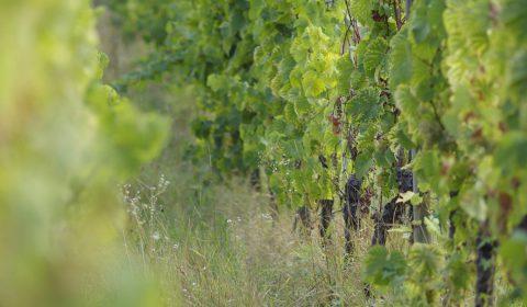 herbes folles dans les vignes