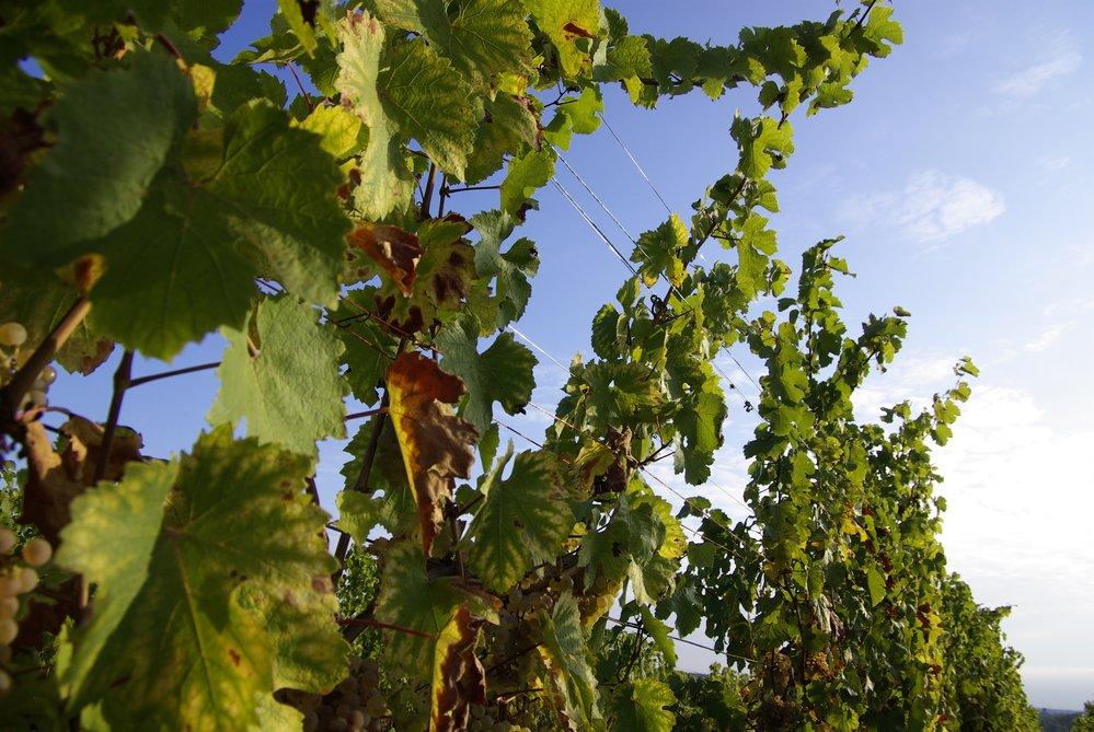 vignes sur fond de ciel bleu
