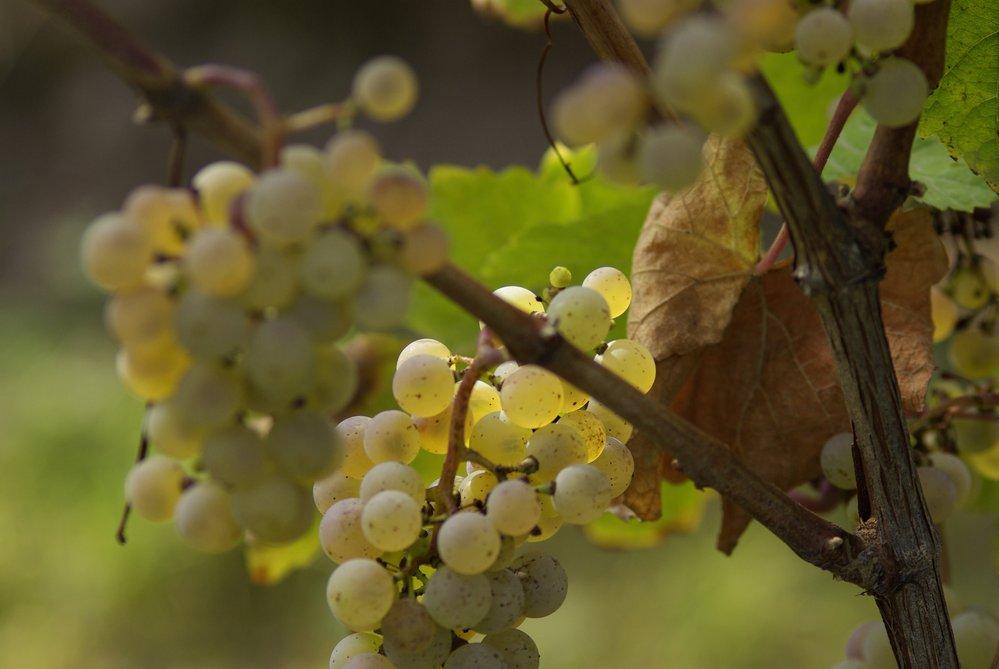 grappes de raisin pendant les vendanges